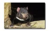 Tasmanian Devil PG-855 ©  Jiri Lochman LT