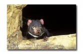 Tasmanian Devil PG-857 © Lochman Transparencies