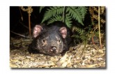Tasmanian Devil PG-919 © Lochman Transparencies
