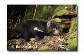 Tasmanian Devil PG-923 ©  Jiri Lochman LT