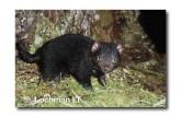 Tasmanian Devil PG-924 ©  Jiri Lochman LT
