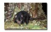 Tasmanian Devil PG-928 © Lochman Transparencies