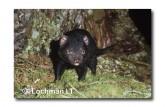 Tasmanian Devil PG-932 ©  Jiri Lochman LT