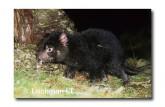 Tasmanian Devil PG-934 ©  Jiri Lochman LT