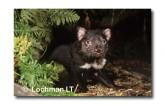 Tasmanian Devil PG-954 ©  Jiri Lochman LT