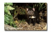 Tasmanian Devil PG-964 © Lochman Transparencies