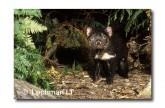 Tasmanian Devil PG-964 © Lochman Transparencies