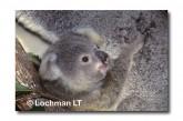 Koala HA-790 ©Hans & Judy Beste Lochman LT