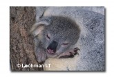 Koala HA-793 ©Hans & Judy Beste Lochman LT