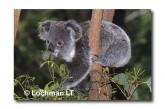 Koala HAY-727 ©Hans & Judy Beste Lochman LT