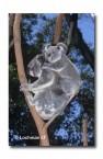 Koala HAY-780 ©Hans & Judy Beste Lochman LT