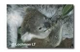 Koala HK-238 ©Hans & Judy Beste Lochman LT