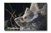 Koala HK-241 ©Hans & Judy Beste Lochman LT