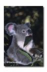 Koala HK-251 ©Hans & Judy Beste Lochman LT