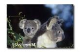 Koala HK-254 ©Hans & Judy Beste Lochman LT