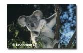 Koala HK-549 ©Hans & Judy Beste Lochman LT