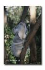 Koala HK-723 ©Hans & Judy Beste Lochman LT