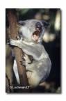 Koala HK-724 ©Hans & Judy Beste Lochman LT