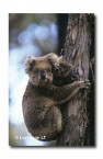 Koala KJ-477 ©Jiri Lochman LT
