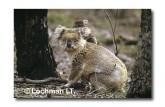 Koala KJY-455 ©Jiri Lochman LT
