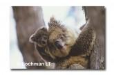 Koala KJY-468 ©Jiri Lochman LT