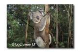 Koala LA-388 ©Jiri Lochman LT