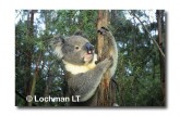 Koala LAY-389 ©Jiri Lochman LT