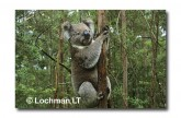 Koala LB-191 ©Jiri Lochman LT