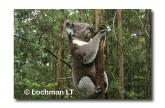 Koala LB-192 ©Jiri Lochman LT