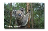 Koala LB-203 ©Jiri Lochman LT