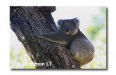 Koala LB-242 ©Jiri Lochman LT