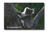 Koala LB-286 ©Jiri Lochman LT