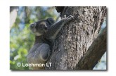 Koala LB-315 ©Jiri Lochman LT