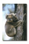 Koala LH-423 ©Jiri Lochman LT