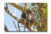 Koala LLK-855  ©Jiri Lochman - Lochman LT