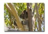 Koala LLK-856  ©Jiri Lochman - Lochman LT