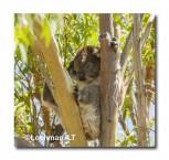 Koala LLK-857  ©Jiri Lochman - Lochman LT