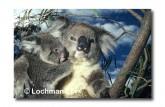 Koala LLY-297 ©Jiri Lochman LT