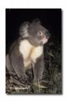 Koala PX-280 ©Jiri Lochman LT