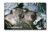 Koala XX-999 ©Jiri Lochman LT
