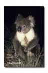 Koala YYY-999 ©Jiri Lochman LT