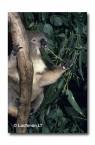 Koala ZZ-464 ©Jiri Lochman LT