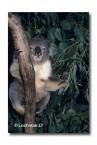 Koala ZZ-468 ©Jiri Lochman LT