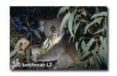 Koala ZZ-470 ©Jiri Lochman LT