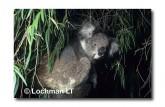 Koala ZZY-286 ©Jiri Lochman LT