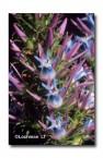 Andersonia caerulea Foxtails FT-538 ©Marie Lochman-  Lochman LT