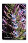 Andersonia caerulea Foxtails FT-541 © Marie Lochman LT