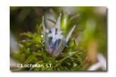 Andersonia careluea subsp careluea ACD-512 © Marie Lochman LT
