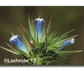 Andersonia sp. nova frankland AIY-922 ©Marie Lochman-  Lochman LT