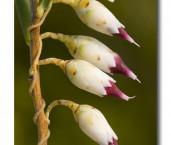 Conostephium pendulum Pearl Flower ABD-007 © Lochman Transparencies